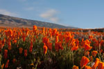 Afternoon Poppy Field